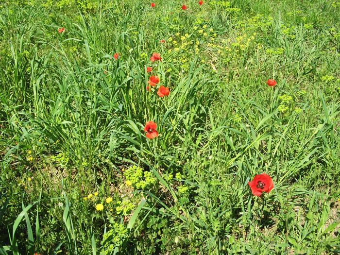 Весна в Тоскане - маки в траве