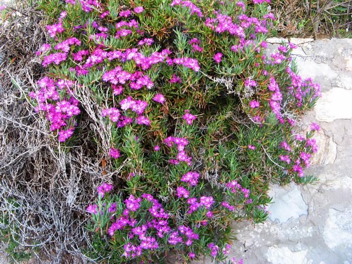 цветение =примета посёлка Виттичио на Эльбе