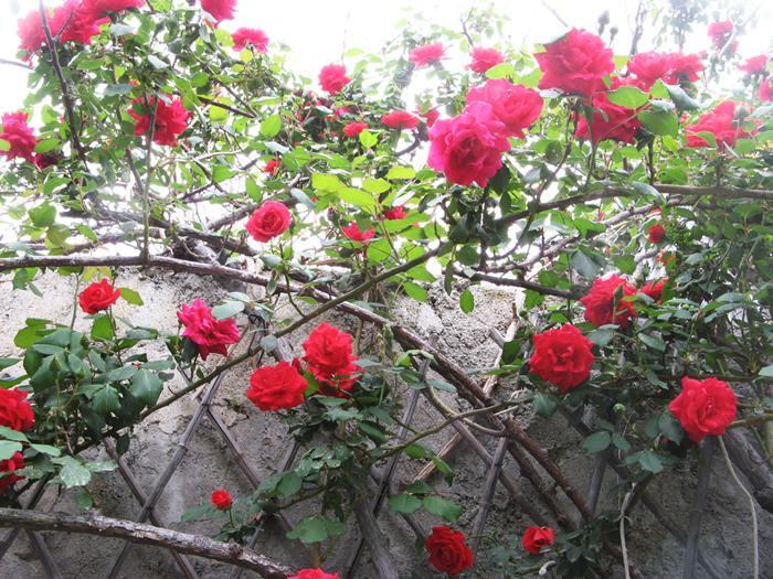 розы в Киесси