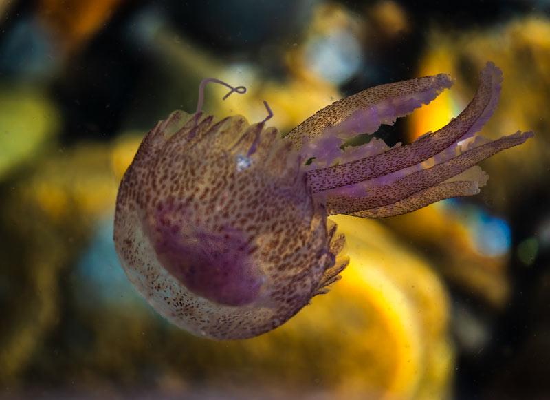 медуза возле острова Эльба